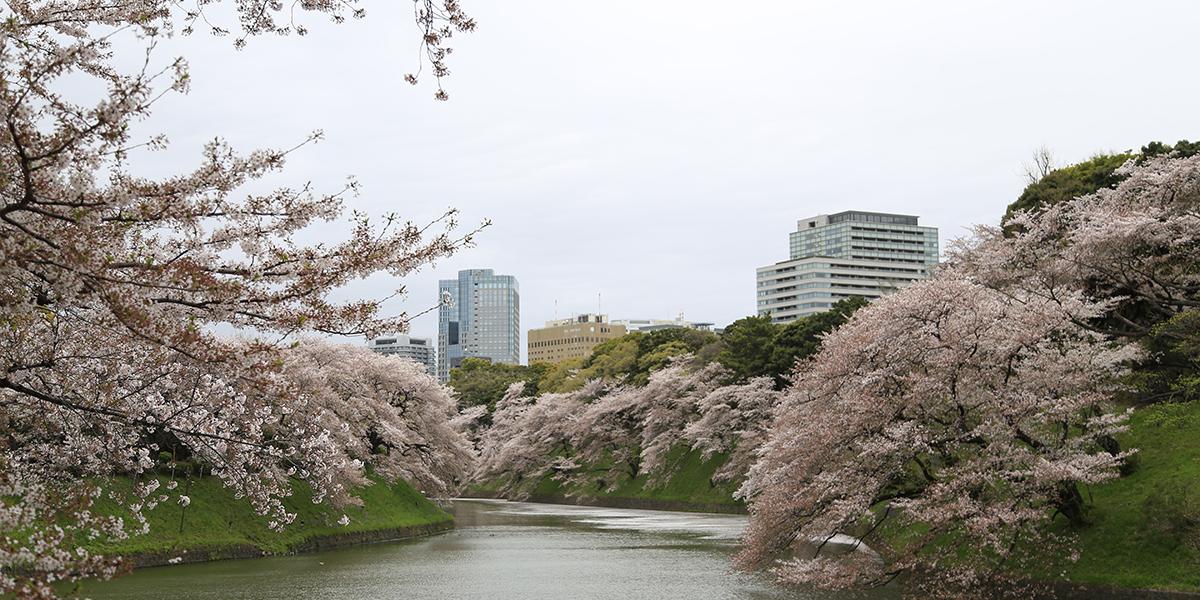 東京賞櫻懶人包